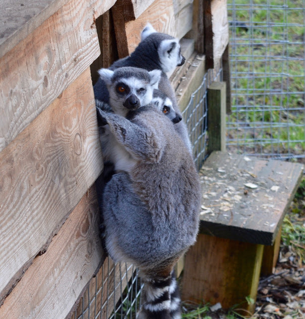 Northumberland Country Zoo Review (with a pushchair) - lemurs