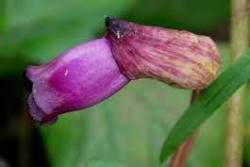 Forest Ghost Flower  (फारेस्ट घोस्ट फ्लावर )