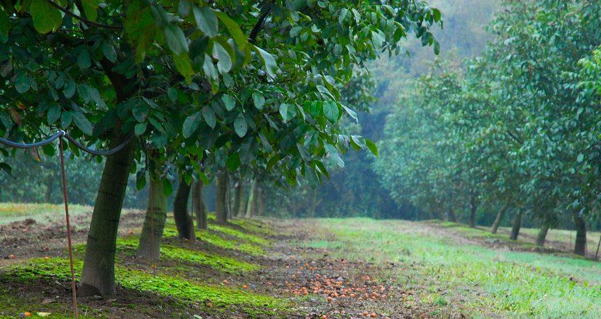 Αυξητική τάση καλλιέργειας καρυδιάς στην περιοχή της Ελασσόνας