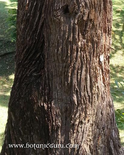 Fagraea fragrans, Tembusu, Ironwood trunk
