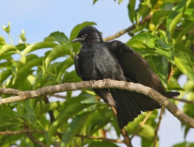 Animals World Latest Videos Of Black Drongo Bird Flying
