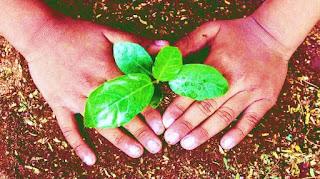 plant gulmohar tree