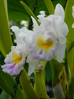 Cattleya labiata semi alba orchid at the 2018 Allan Gardens Conservatory Winter Flower Show by garden muses--not another Toronto gardening blog