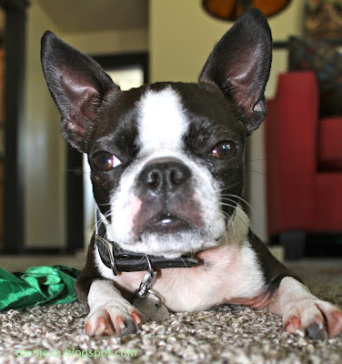 Sinead the Boston terrier