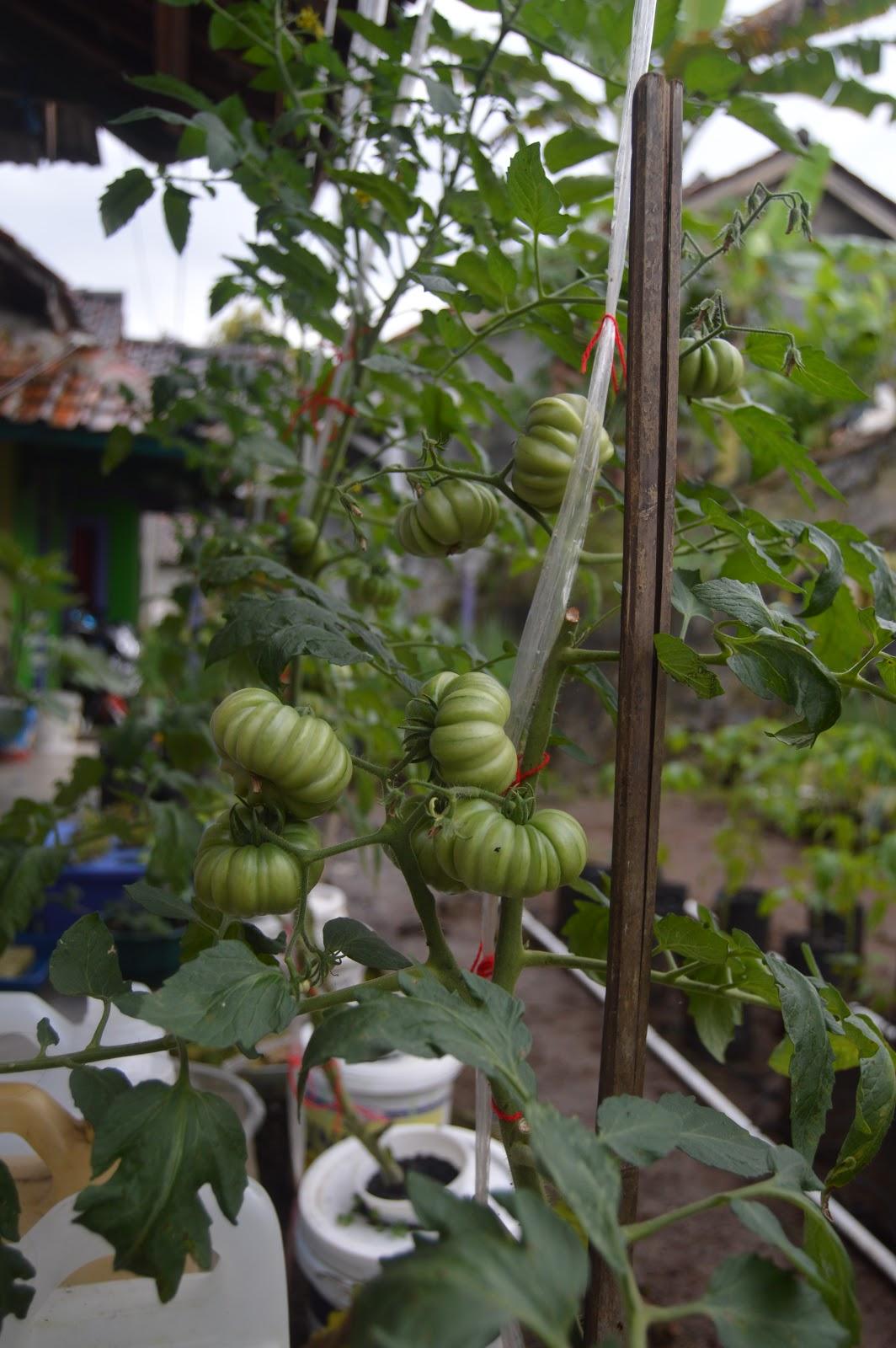 Cara Menanam Tomat Hidroponik : menanam, tomat, hidroponik, Menanam, Tomat, Secara, Hidroponik, Gemilang