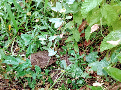 Woodhouse desert toad