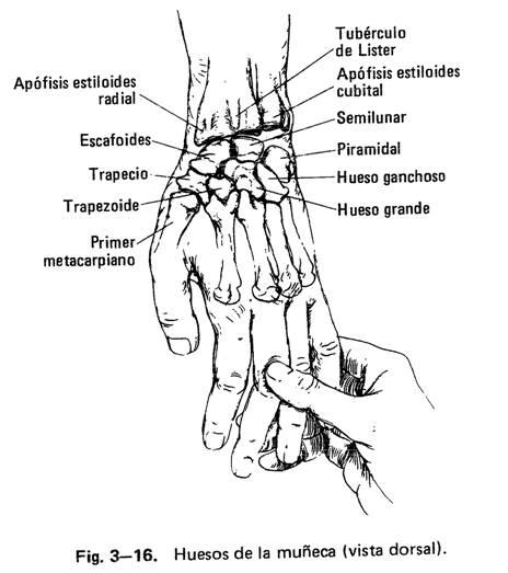 Muneca conforman la articulacion de huesos la que