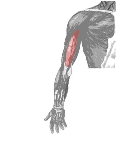 Músculo bíceps braquial resaltado de rojo