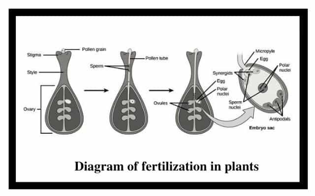 Diagram of fertilization in plants