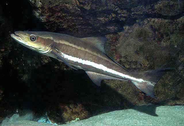 Peixe Bijupirá (Rachycentron canadum