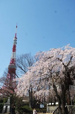 White Sakura Tree and Tokyo Tower Japan