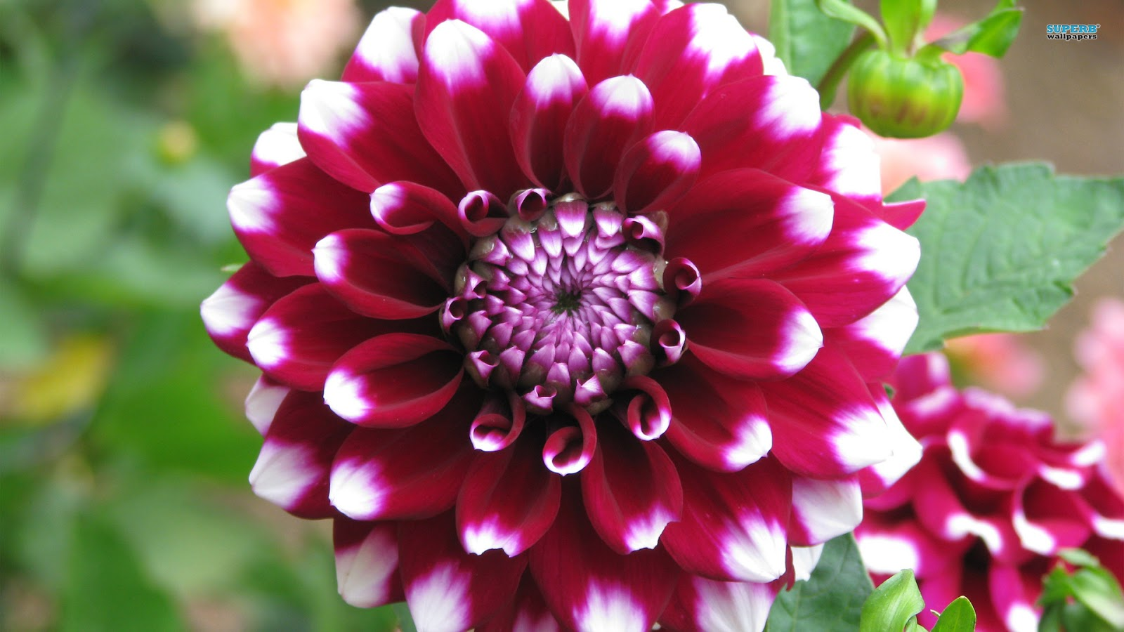 dahlia flower meaning  flower, Natural flower