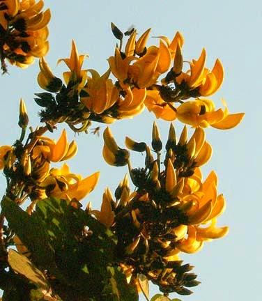 Health,Disease and Genetics: Palash flower – Medicinal value Palash Flowers Images