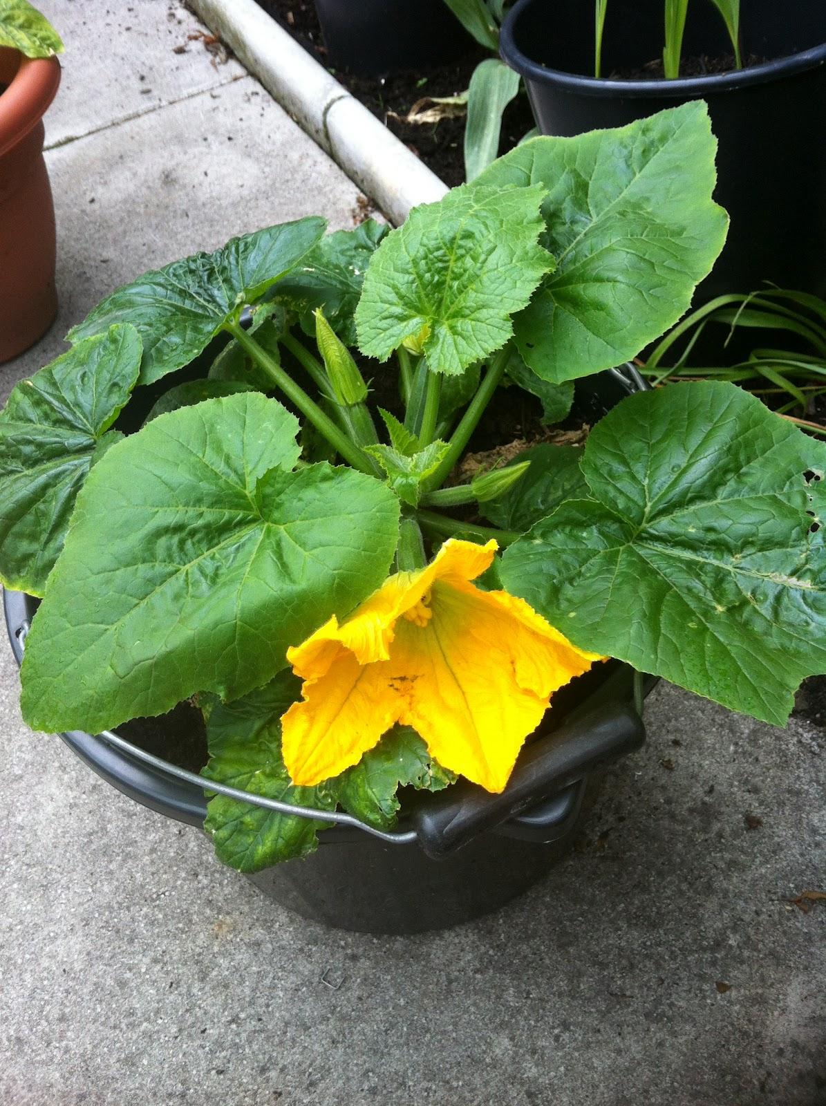Varietà Zucchine Da Fiore il mio orto: il mio primo fiore di zucchina
