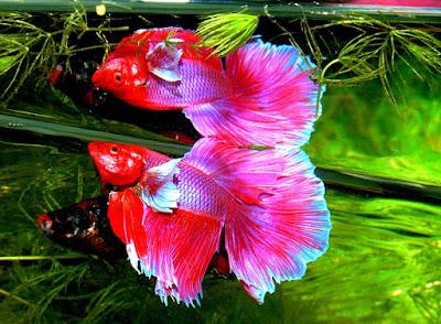 Jenis Ikan Hias Air Tawar cupang betta
