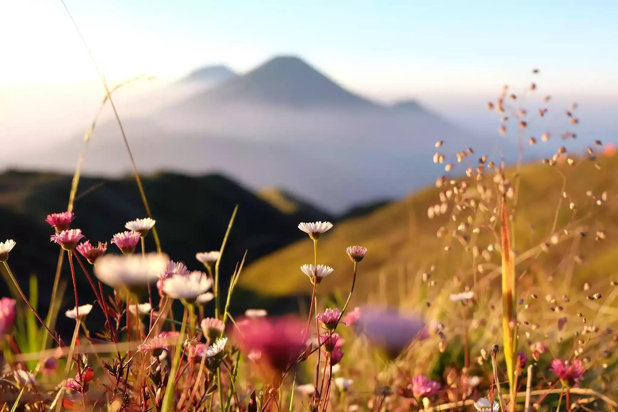 Bunga Daisy di Gunung Prau - via panduanwisata.id