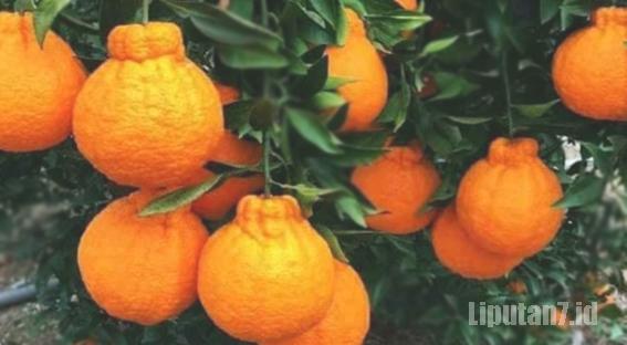 wisata bantung petik jeruk dekopon