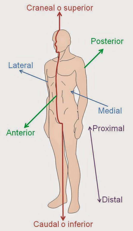 La Posición Anatómica | APUNTES AUXILIAR ENFERMERIA