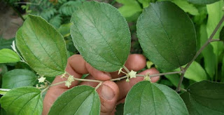 4 Benefits of Bidara Leaves (Indian Jujube) for Hemorrhoid Disease