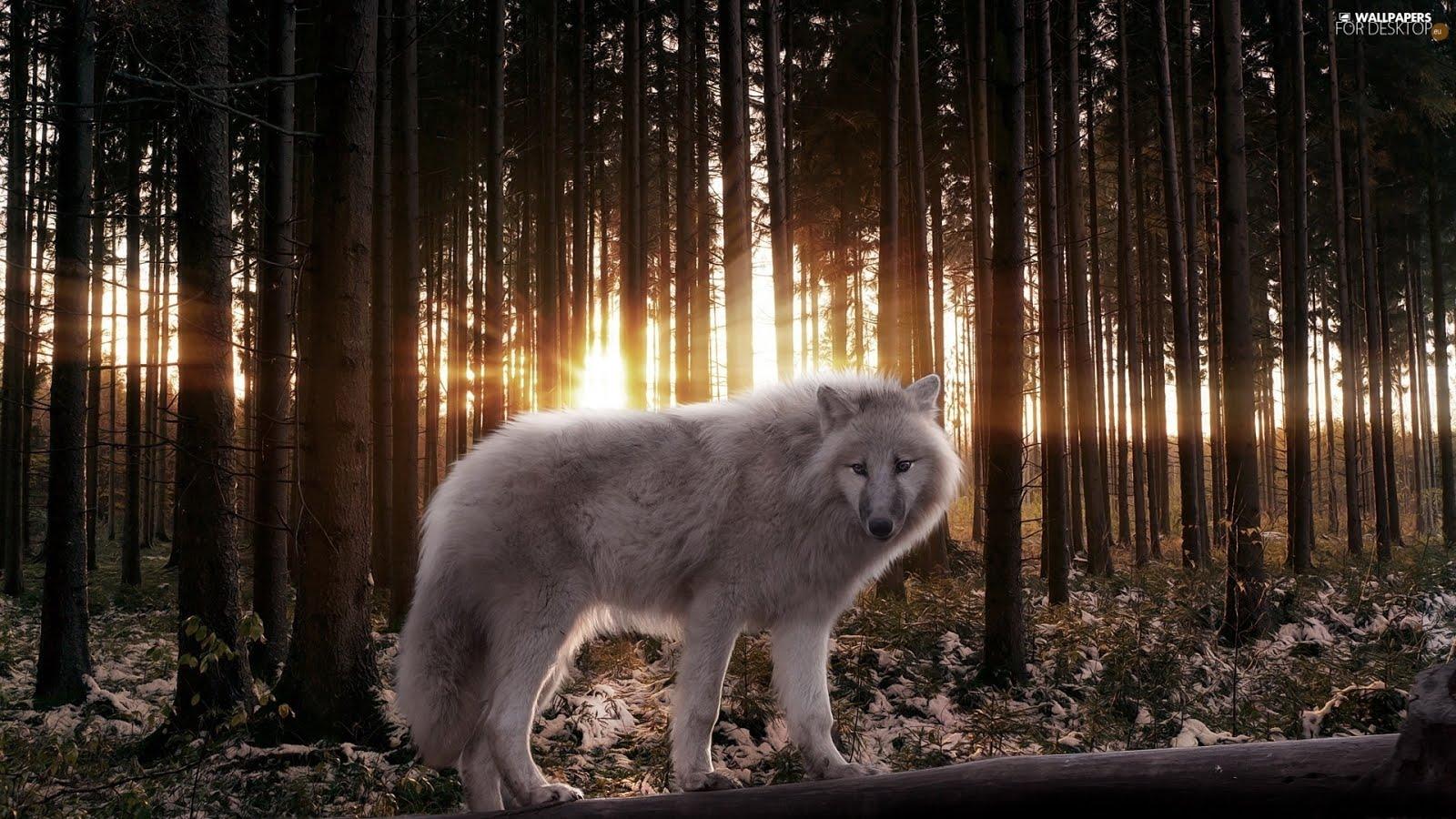 Winter Wolf Forest Wallpaper