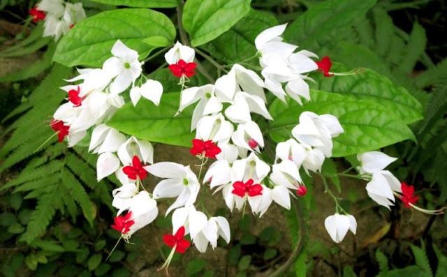 Khasiat dan Manfaat Tanaman Nona Makan Sirih (Clerodendrum Thomsonae Balff.)