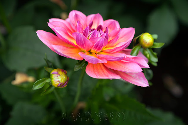 Stunning flower in the Anglesey Abbey dahlia collection by Martyn Ferry Photography