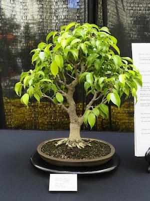 Bonsai Beringin (Ficus benjamina)