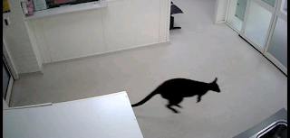 Wandering wallaby pays visit to Australian hospital's emergency room