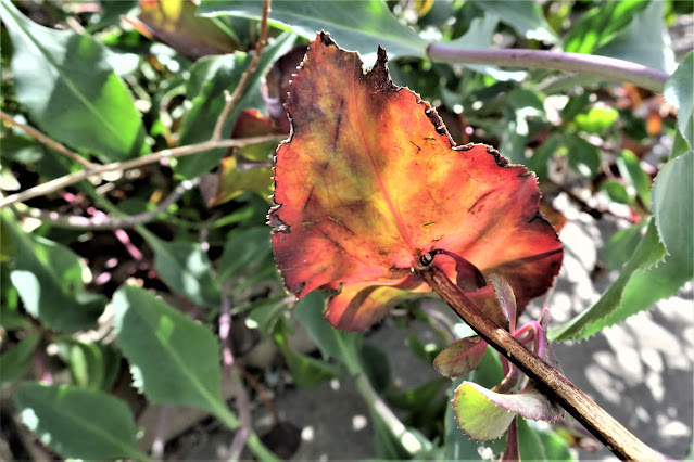 Leaf in light. UTEP campus, El Paso, Texas. March 2017.