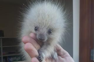 http://vnoticia.com.br/noticia/3870-filhote-de-ourico-cacheiro-resgatado-em-gargau