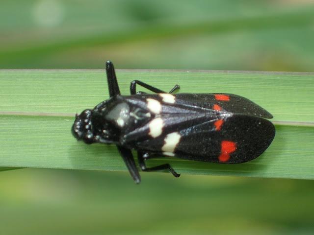 Callitettix versicolor