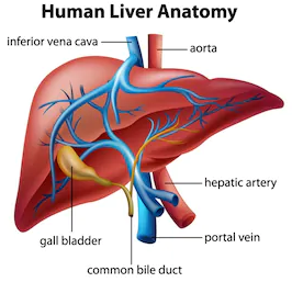 Liver, Gall Bladder and Detoxification
