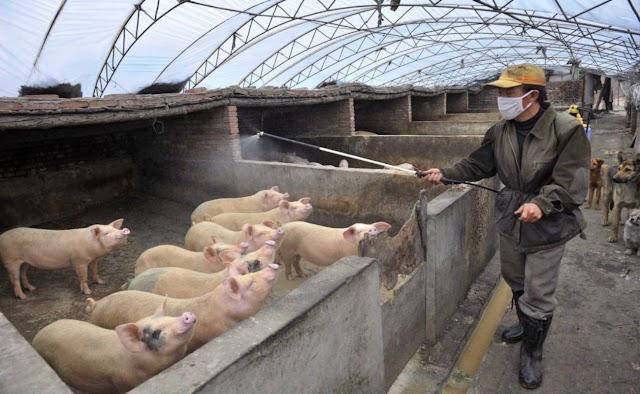 Παράνομα εμβόλια «προκάλεσαν επιδημίες» σε κινεζικά χοιροτροφεία
