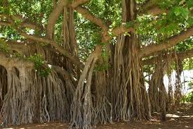 National tree of India. India का national tree. Banyan tree.