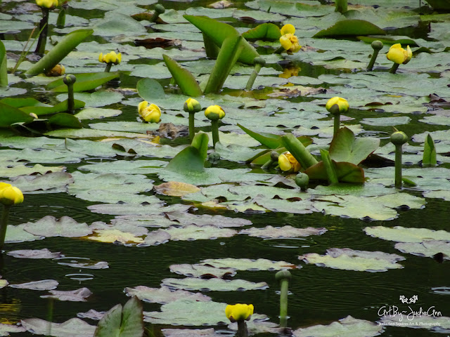Newfoundland Pond Lilies