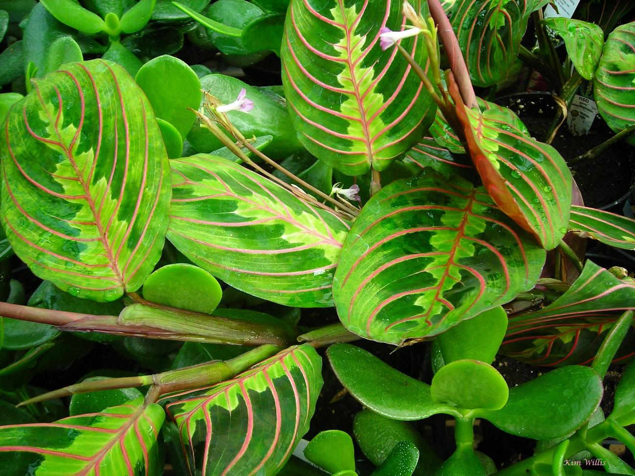 prayer plant like high humidity