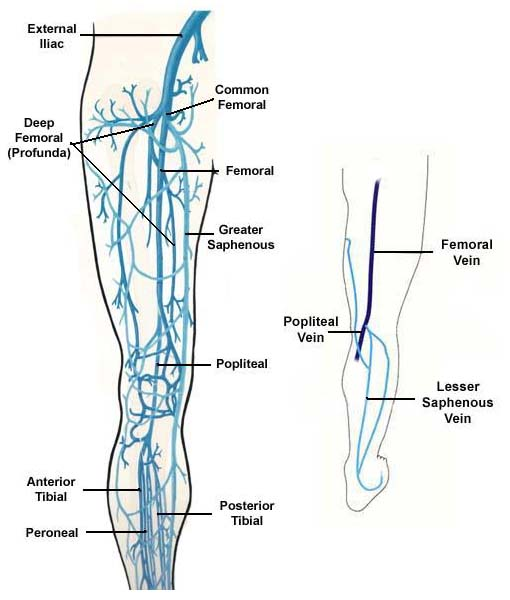Lower Extremity Superficial Venous Anatomy