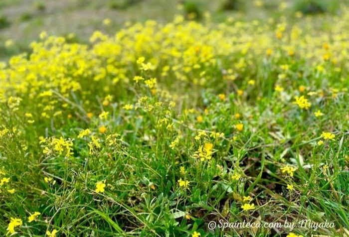 春の黄色小花がカーペットのようにあたり一面に咲いている写真