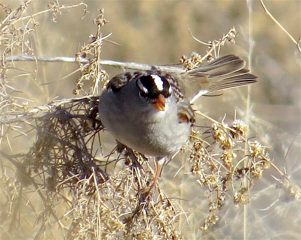 Birdernaturalist: NE Tucson's Rillito River Sparrows
