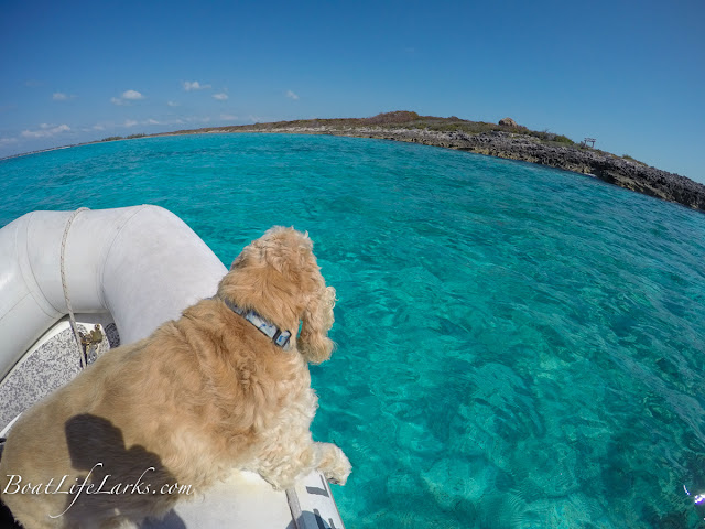 Boat dog enjoys the turquoise Bahamas water