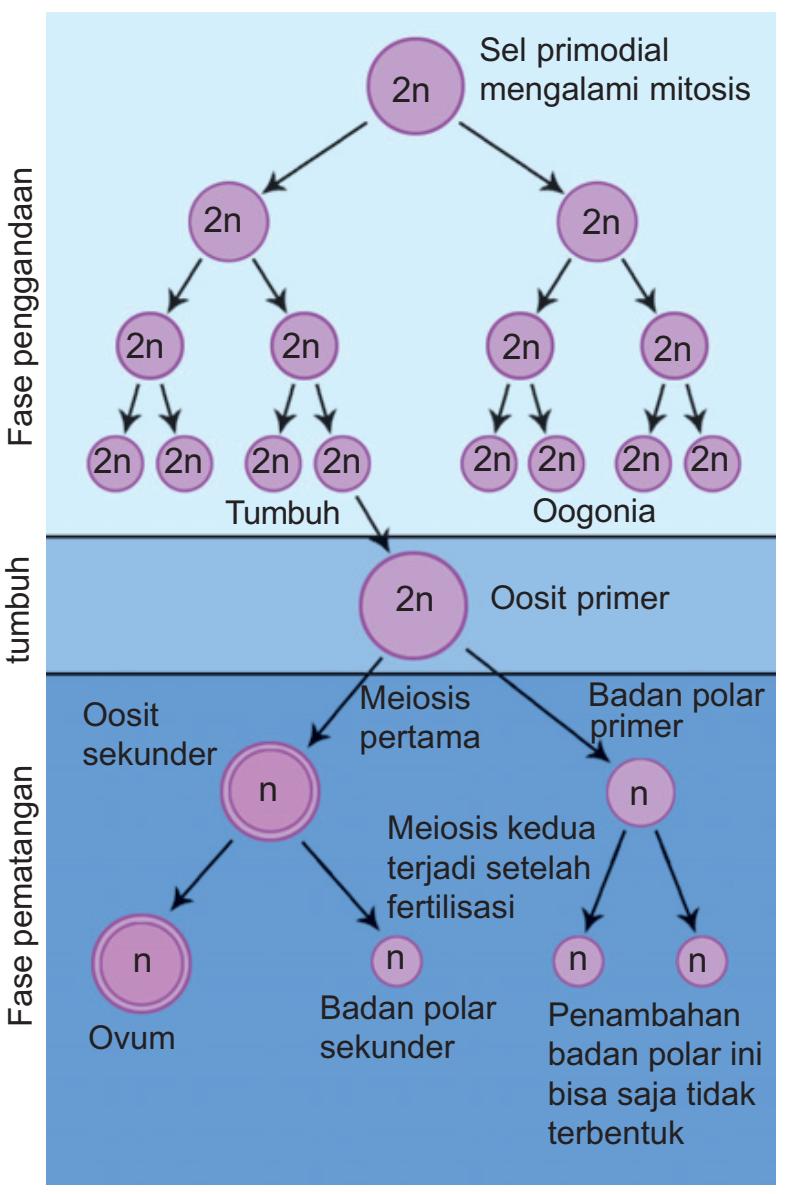 Proses Pembentukan Sel Telur (oogenesis) : proses, pembentukan, telur, (oogenesis), Tahapan, Proses, Oogenesis, Pembentukan, Biologi, Edukasi:, Belajar, Sains