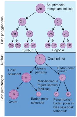 Tahapan Proses Oogenesis Pembentukan Sel Ovum