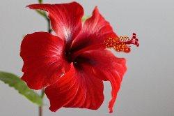 Hibiscus  (हीबीस्कूस्)