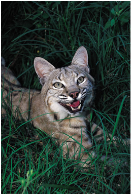 Bobcat or Lynx rufus Facts