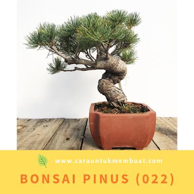 Bonsai Pinus (022)
