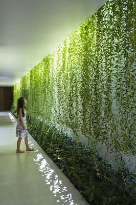 cara merawat tanaman lee kawan yew tanaman gantung tirai