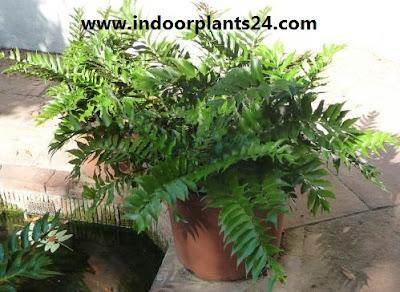 Cyrtomium Falcatum Aspidiaceae house plant potted