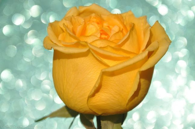 Most Beautiful Rose Flowers Images Pictures