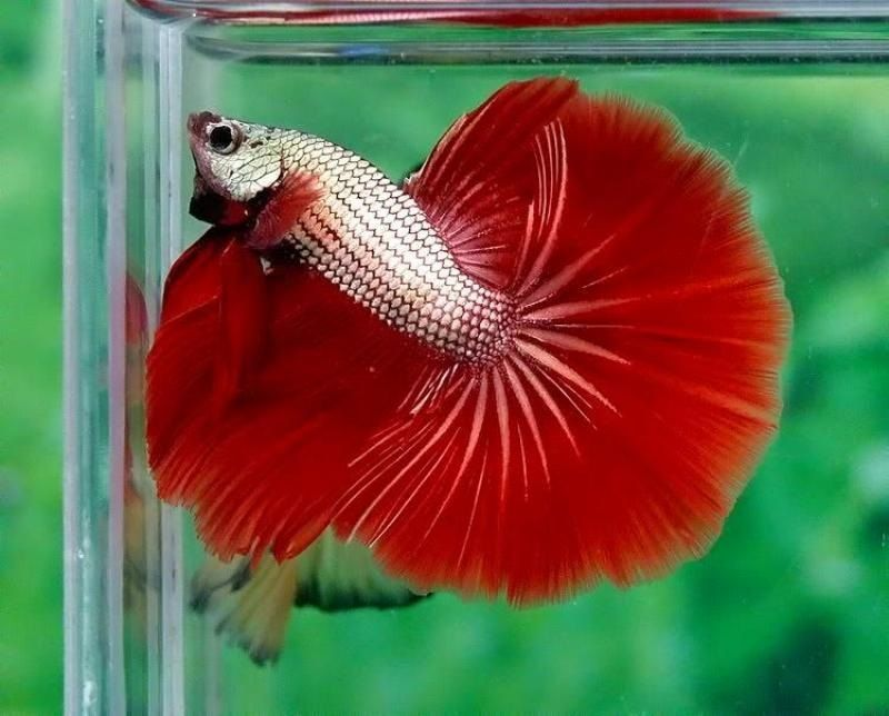 Image Halfmoon Dragon Betta Fish