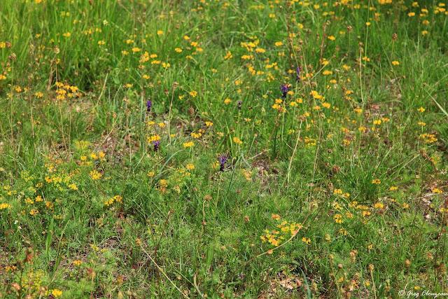 Muscaris à toupet (muscari comosum ) en forêt de Fontainebleau